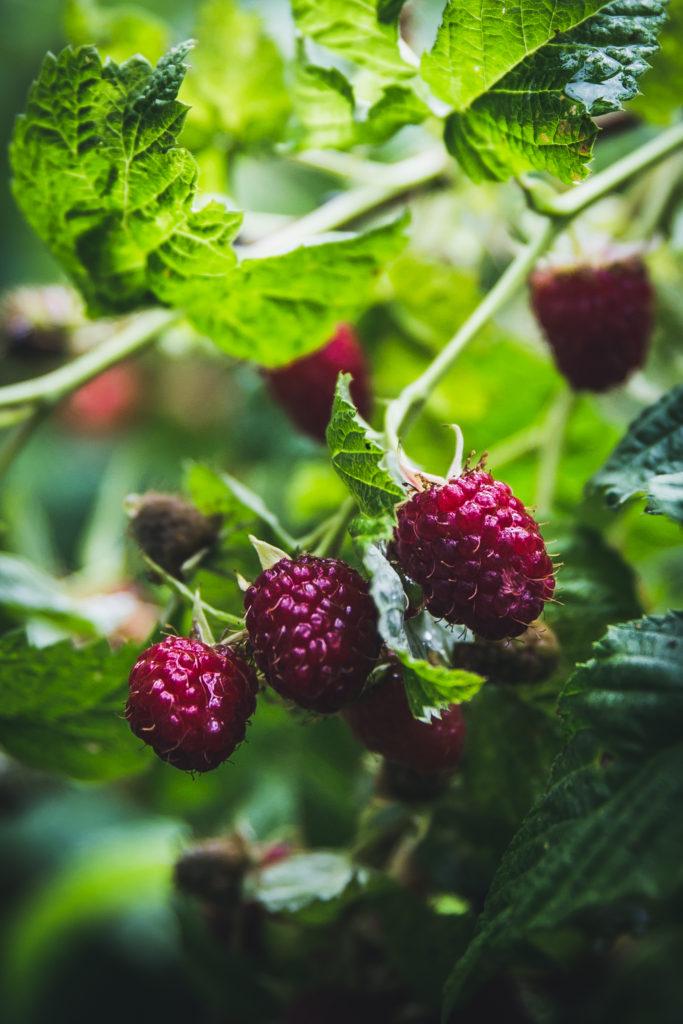 rapberries